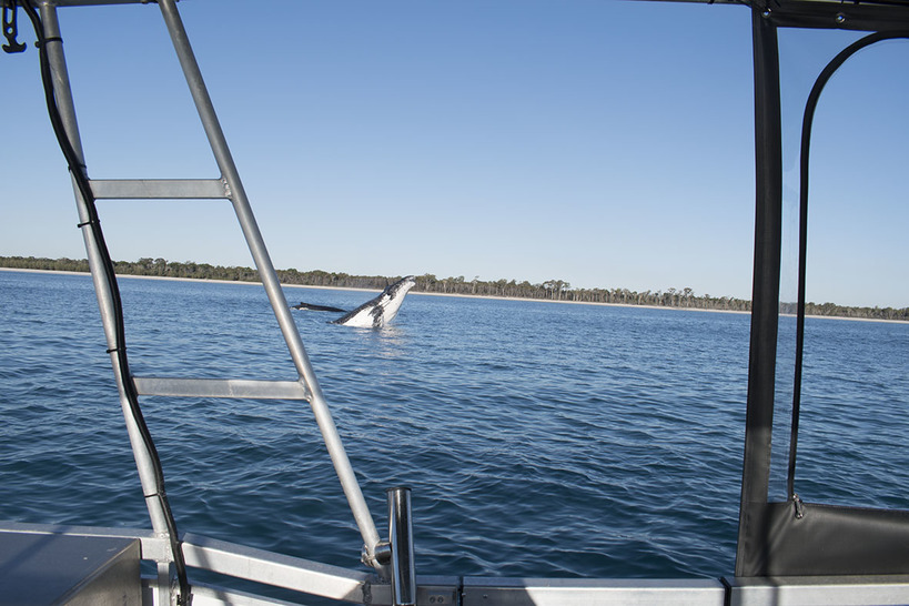 Whale Watching Season Hervey Bay