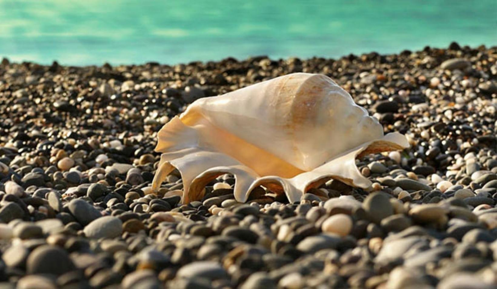 Seashells of Sri Lanka