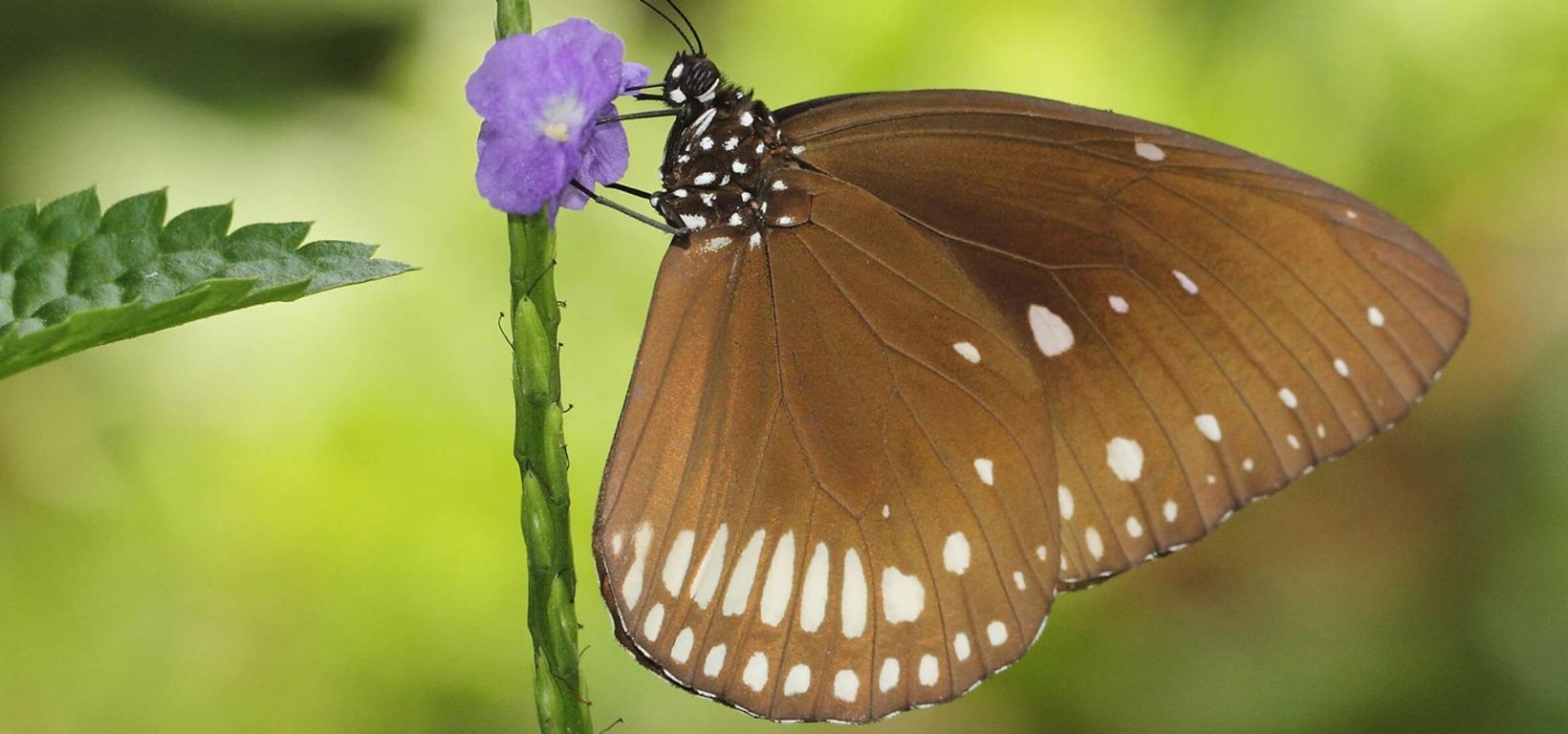 Butterflies in Sri Lanka