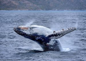 CHILE: A PRIVILEGED DESTINATION FOR WHALE AND DOLPHIN WATCHING
