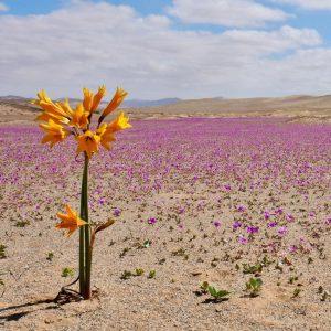 Desierto Florido, el espectáculo más lindo del norte de Chile
