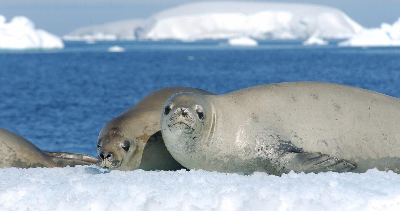 focas antartica
