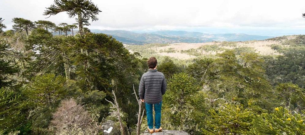Araucarias milenarias en el trekking en el Parque Nacional Nahuelbuta