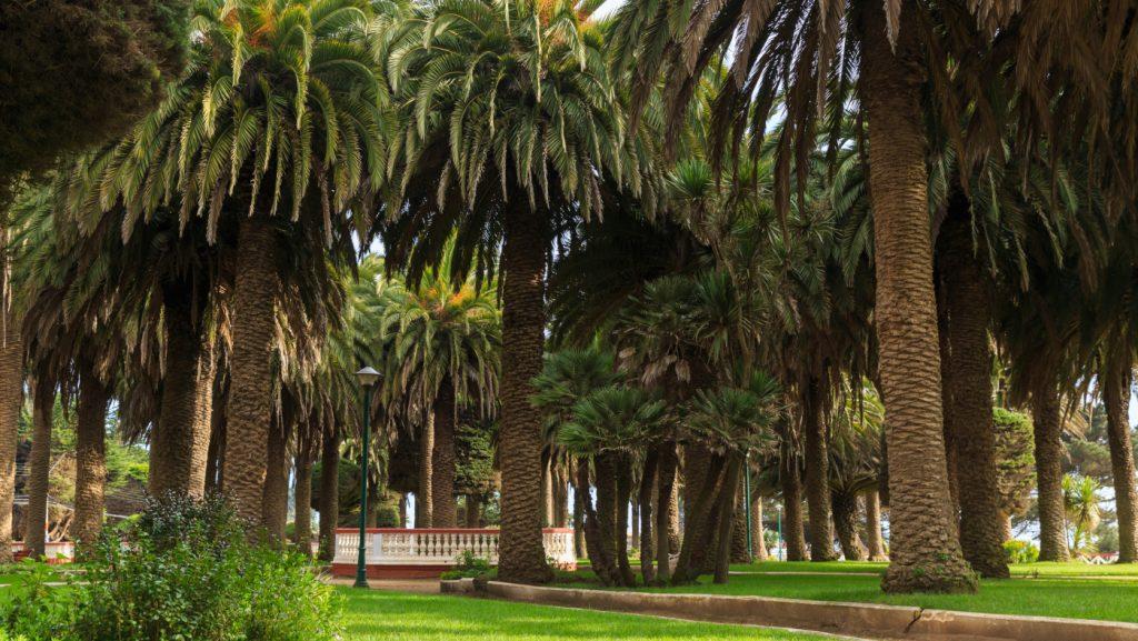 Imagen de las palmeras que rodean la plaza de Pichilemu