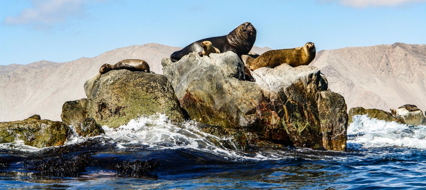 Imagen de un lobo marino disfrutando del sol en una roca de la costa del Valle de Huasco