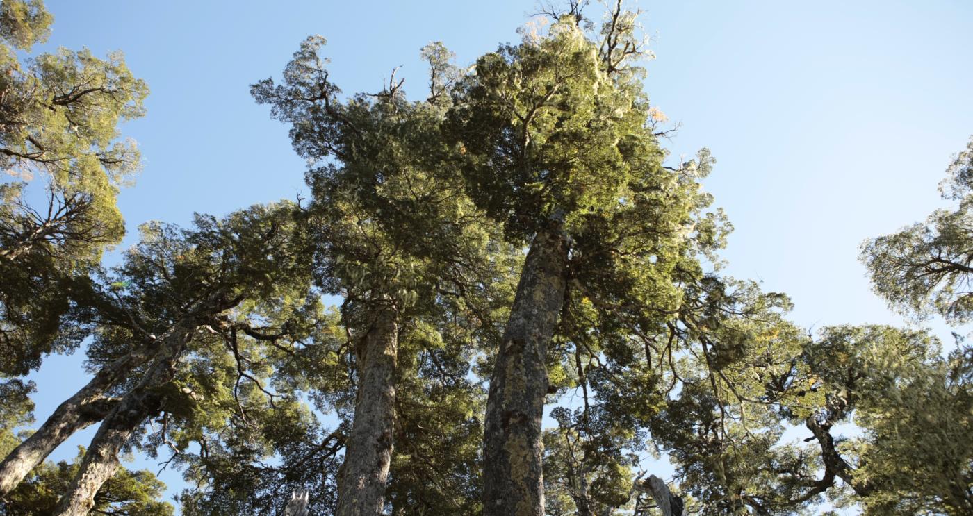 Imagen de los árboles de la reserva de la naturaleza que es Huilo Huilo en el sur de Chile