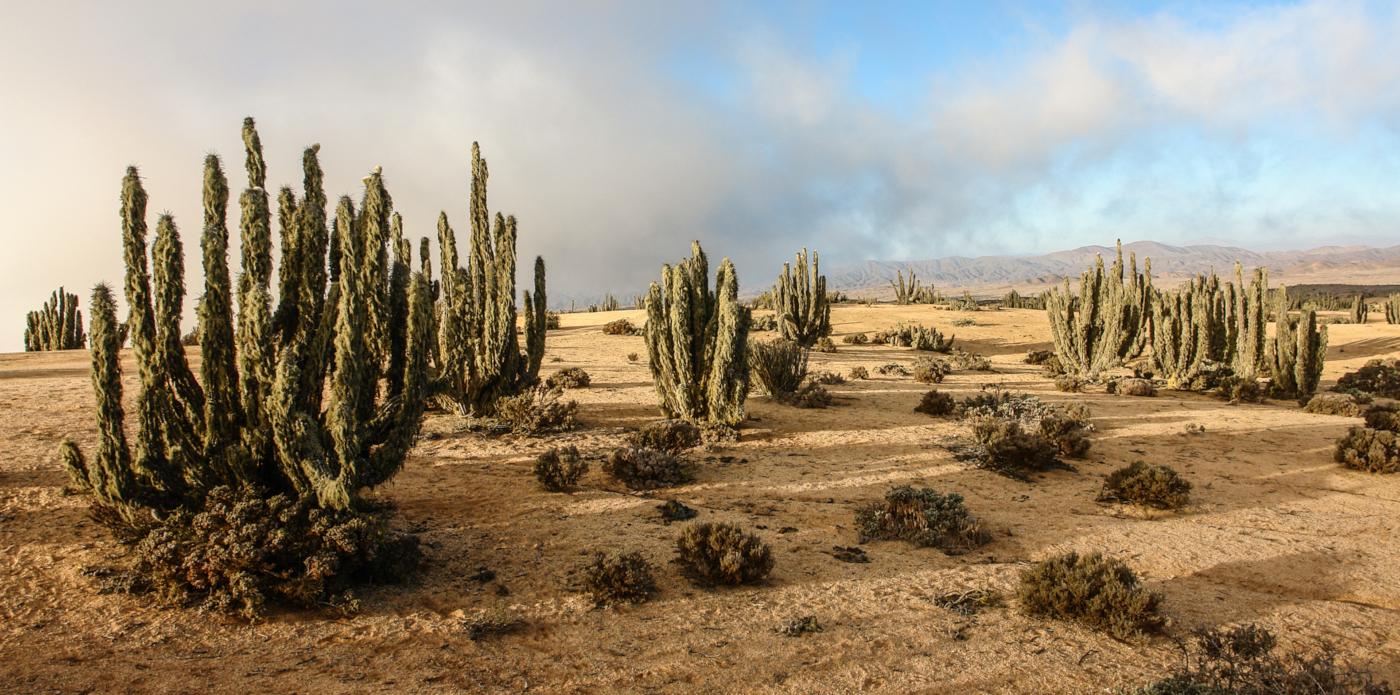 Imagen de cactus en el pasaje árido del Parque Nacional Pan de Azúcar