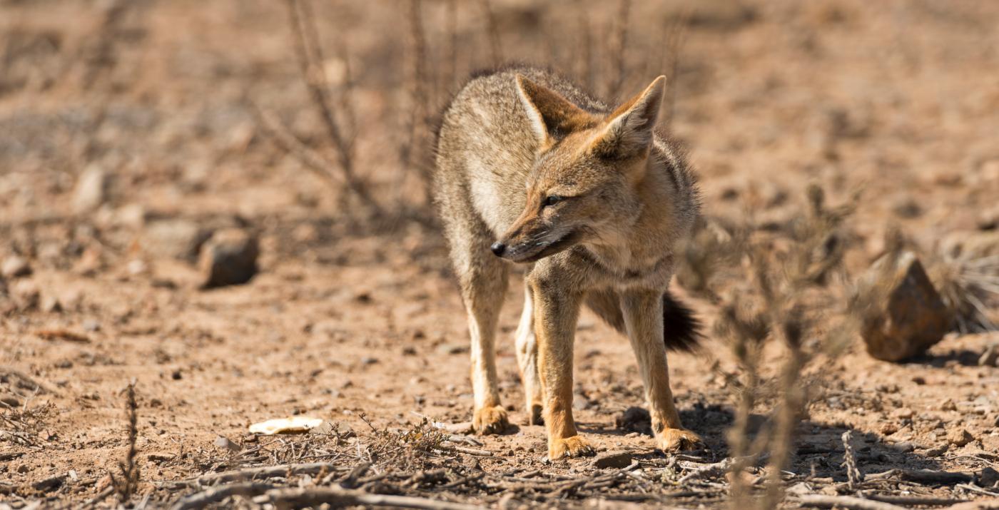 Imagen de un zorro en el Desierto de Atacama en el norte de Chile