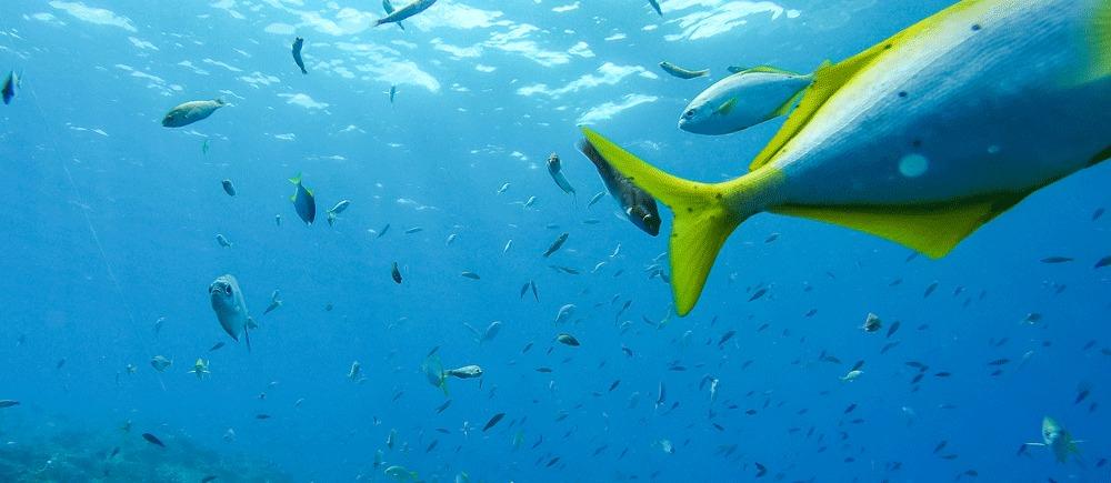 Imagen de coloridos peces en las aguas de Isla Juan Fernández
