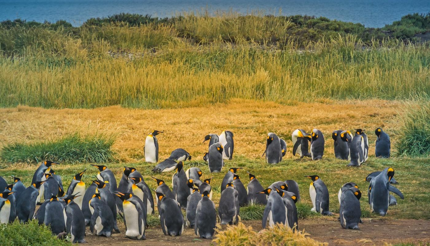 Imagen d eun grupo de Pingüinos Rey en el parque que lleva su nombre rodeados de vegetación de la zona