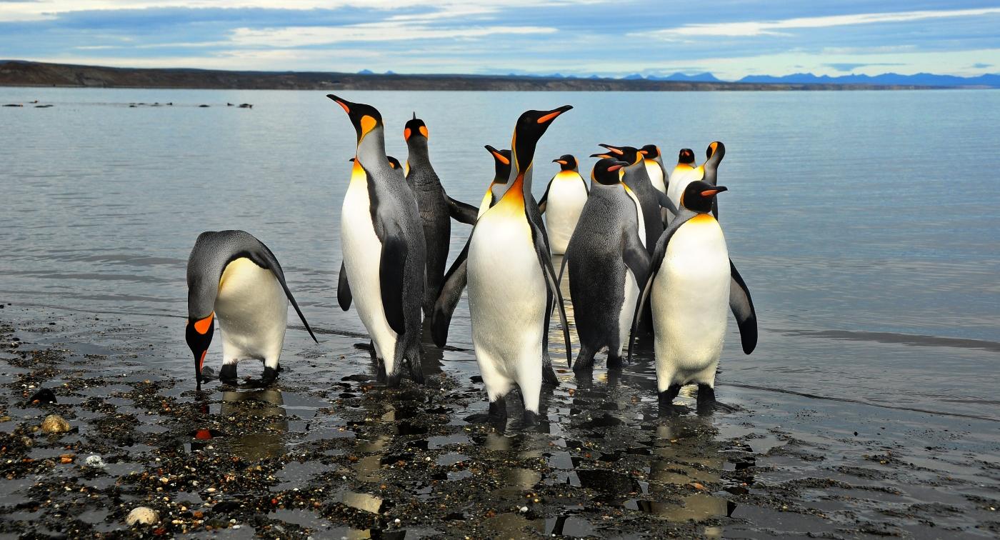 Imagen de un grupo de Pinguinos Rey a la orilla del mar en el parque chileno que lleva su nombre