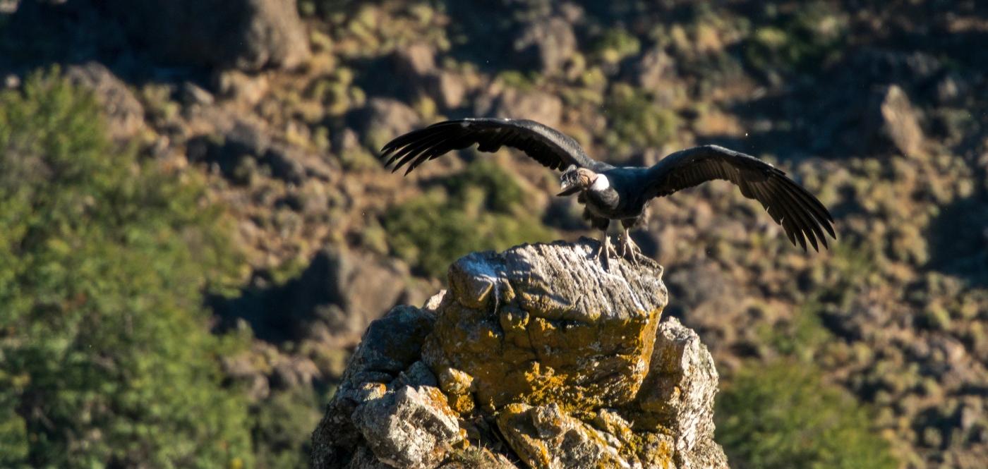 Imagen de un cóndor chileno con las alas abiertas en a cima de una montaña