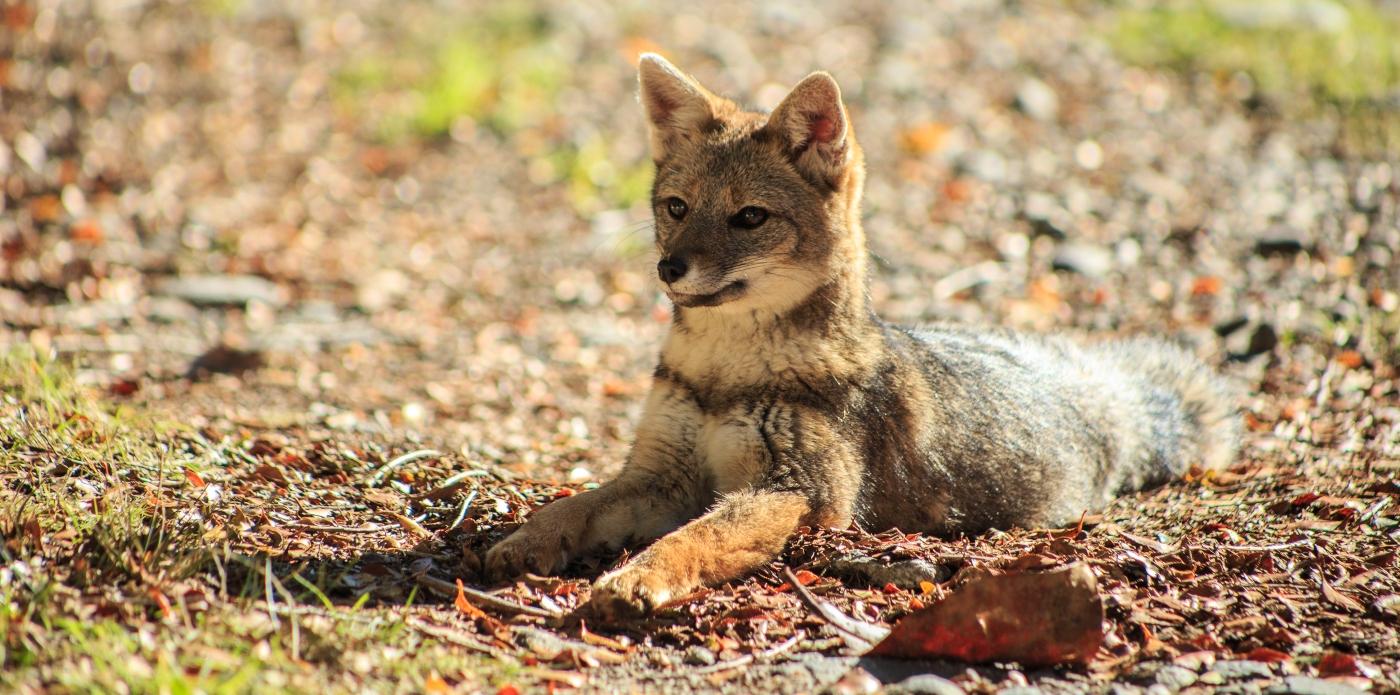 Imagen de un pequeño zorro chileno que está atenta con sus orejas paradas