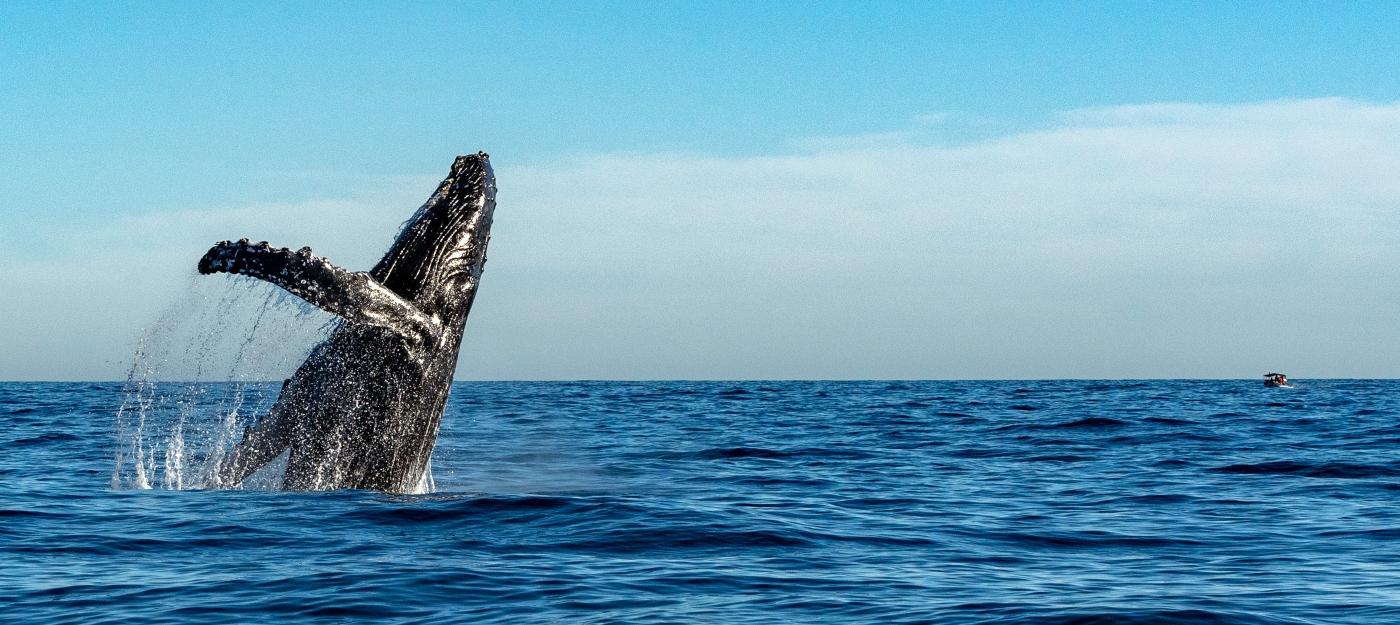 Imagen de una ballena jorobada en el océano pacífico
