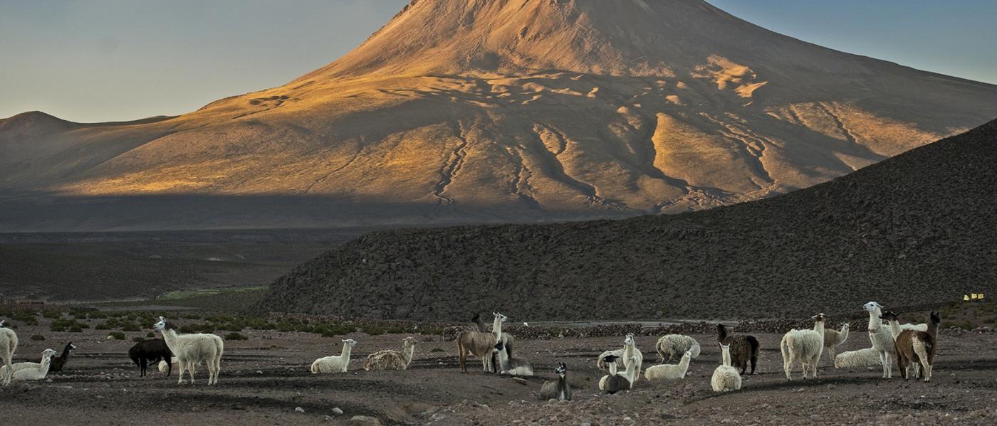 Imagen de un grupo dellamas y vicuñas pastando a la orilla de un volcán en el norte de Chile