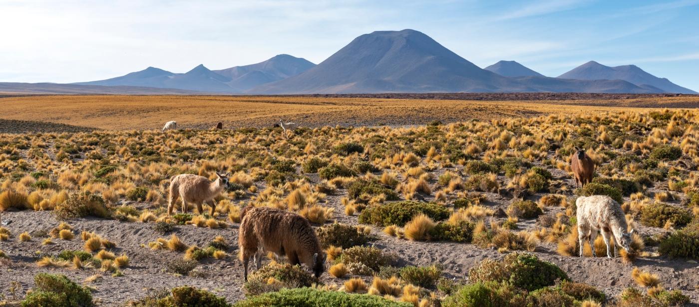 Imagen del volcán Licancabur rodeado de animales y vegetación