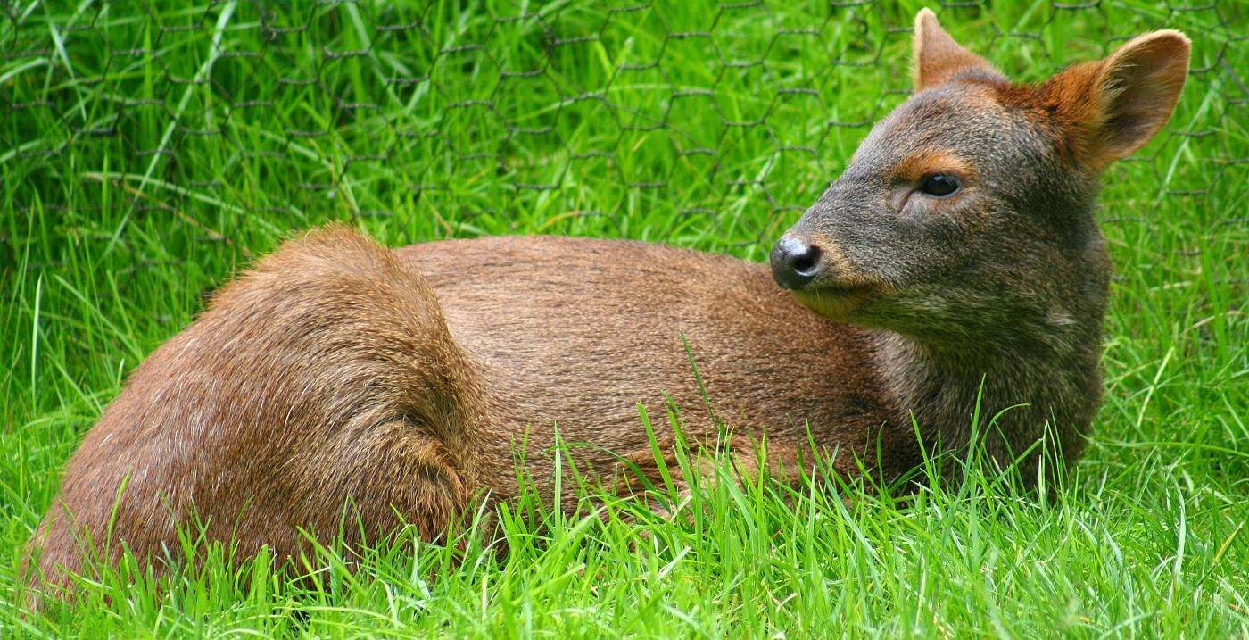 Imagen de un pudu reposando en el pasto