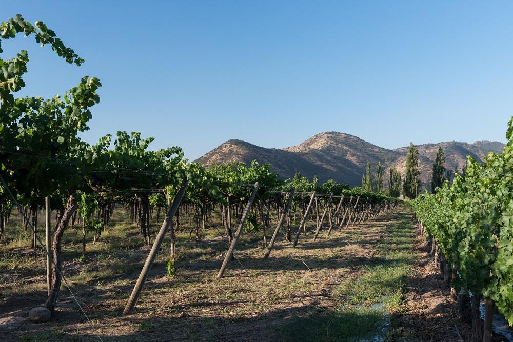 Gran terreno repleto de parras de uva para la preparación de vinos