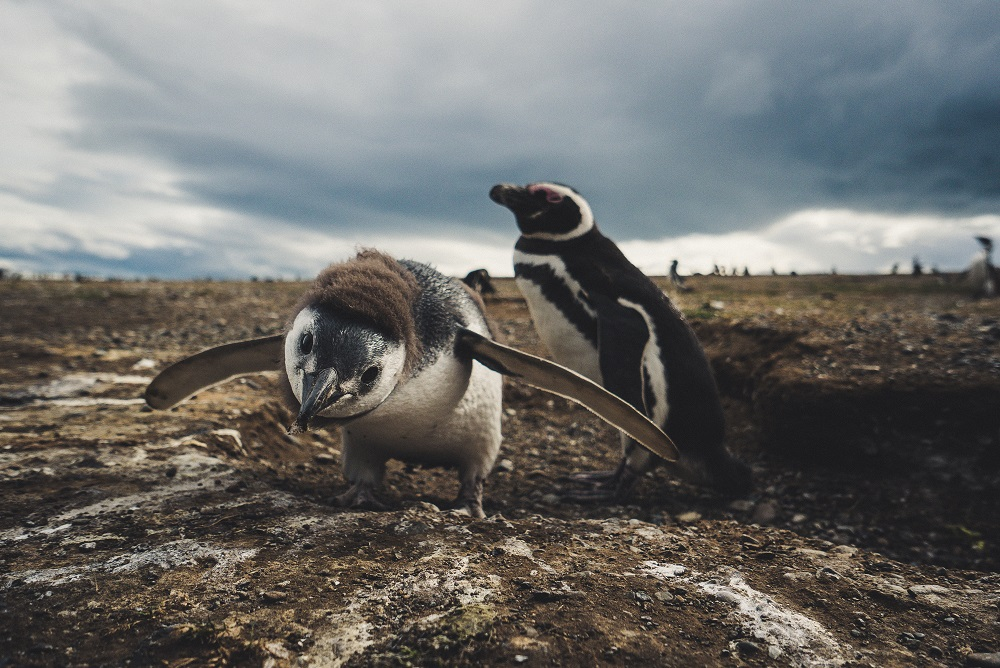 pairs of Magellan Penguins in Magdalena Island National Park