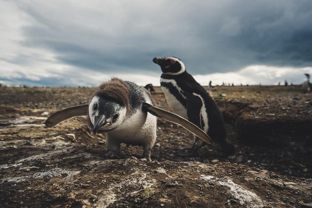 Pinguinos en el Parque Nacional Isla Magdalena