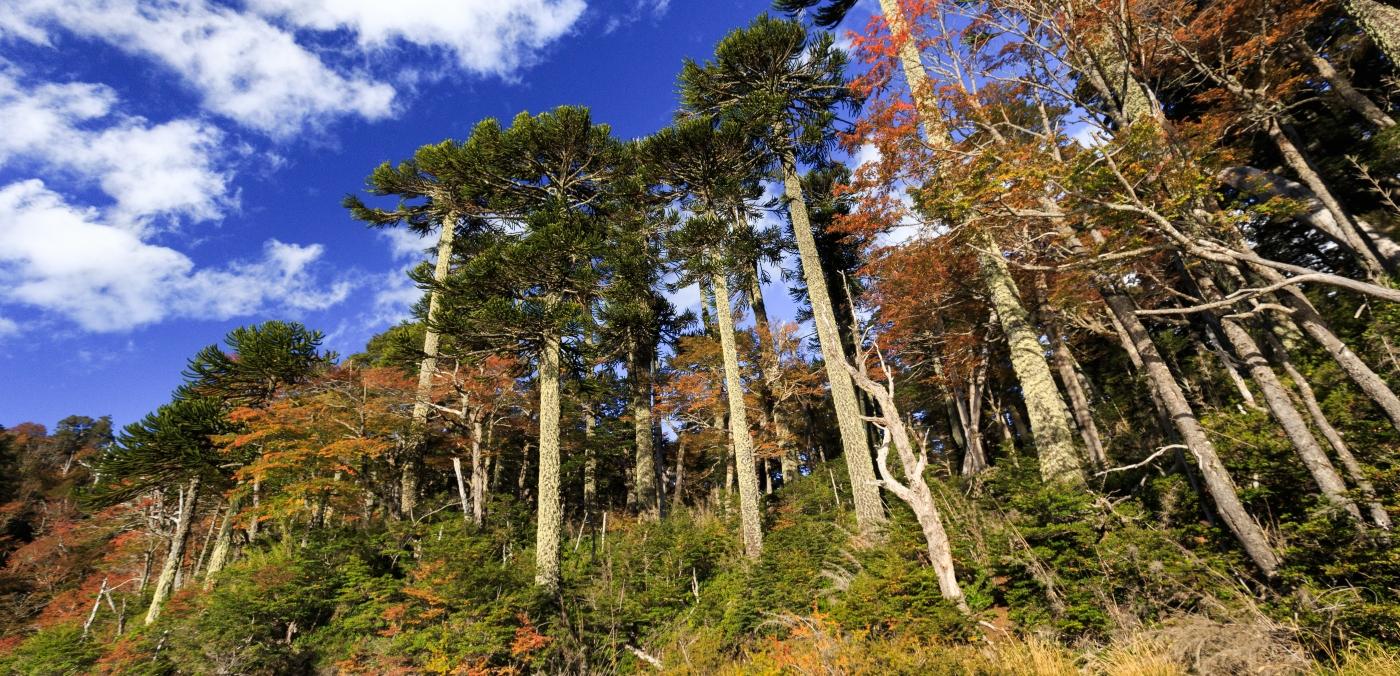 Imagen de las araucarias en el Parque Nacional Conguillio en época de otoño