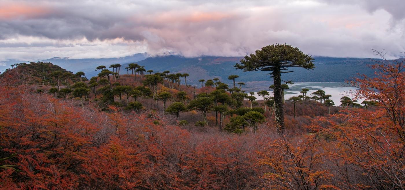 Imagen de un bosque con araucarias milenarias en el sur de Chile
