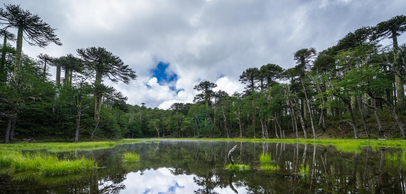 Imagen de un bosque de araucarias en el Parque Nacional Conguillio