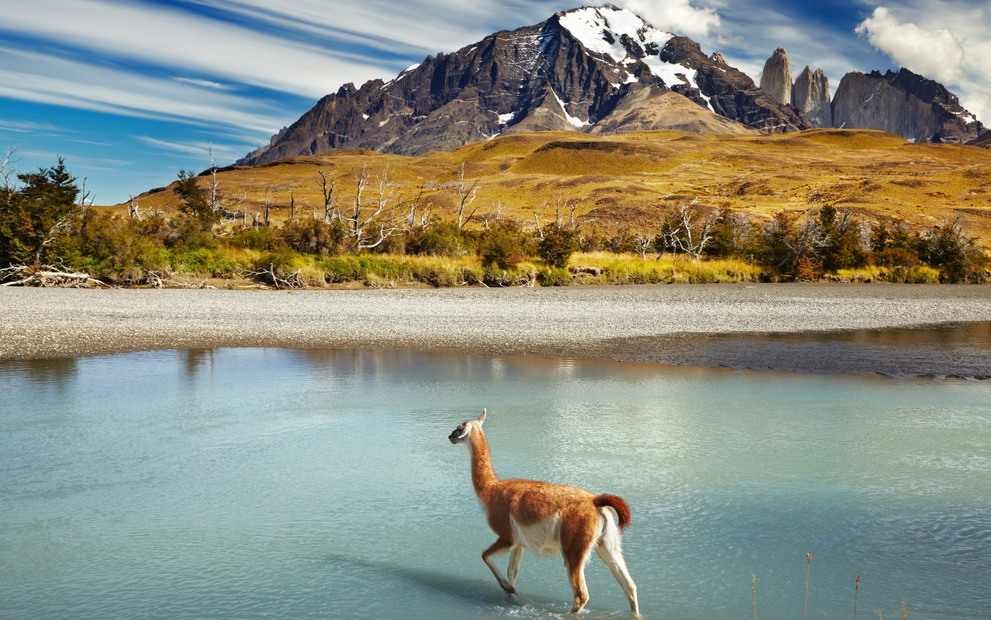 Imagen de una vicuña en el norte del país