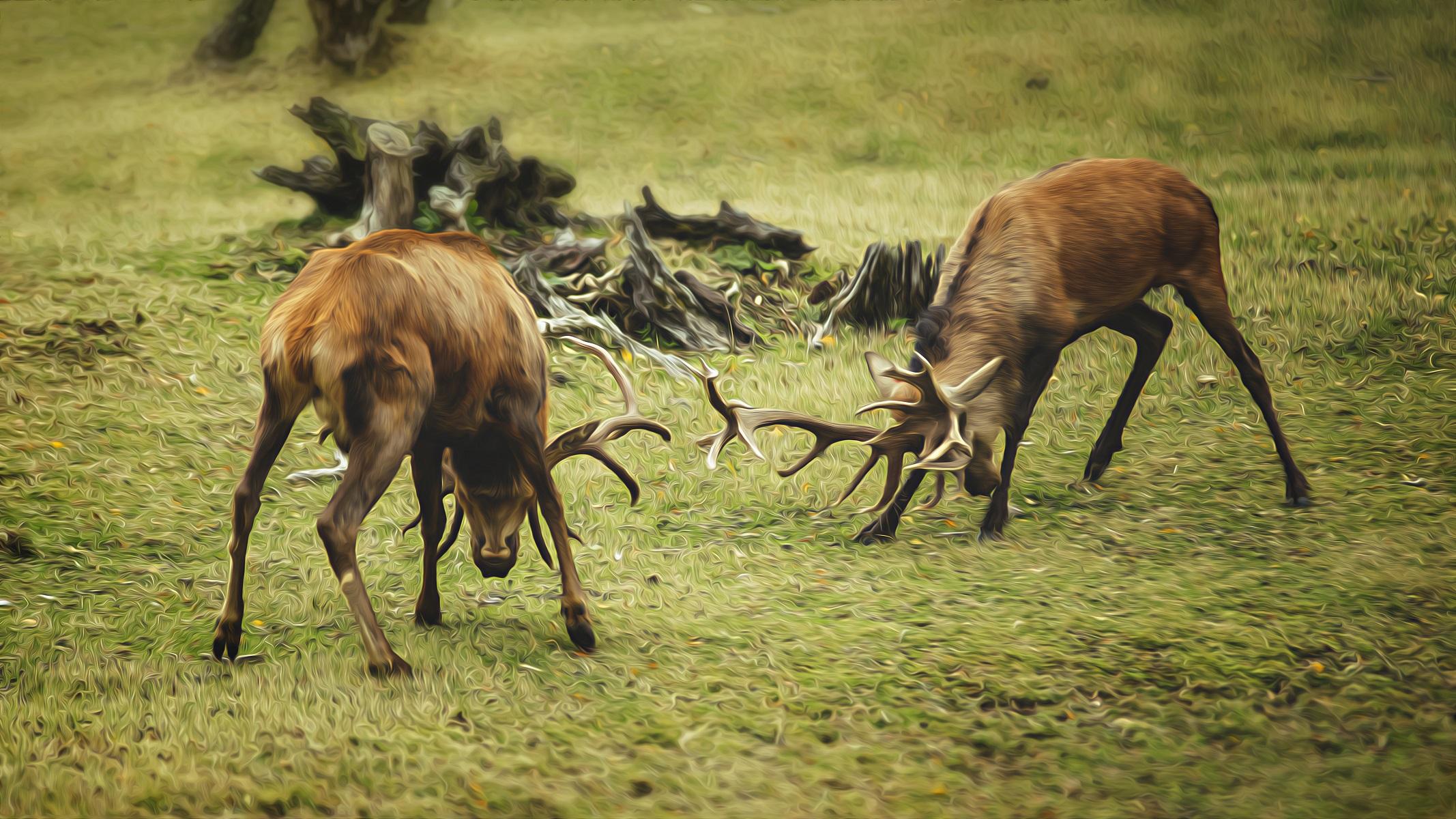 Imagen de ciervos peleando en la reserva biológica Huilo Huilo en el sur de Chile