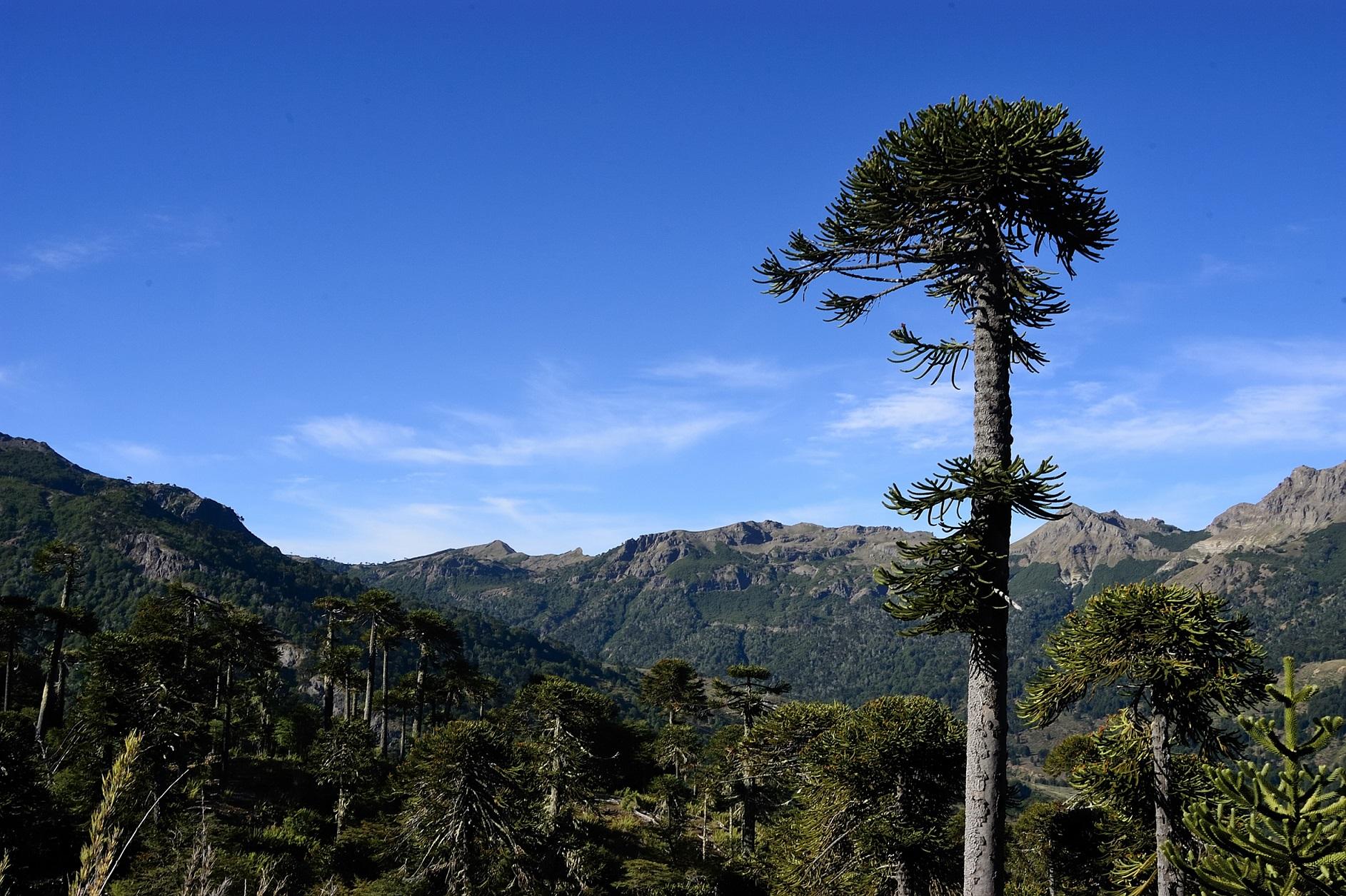 Foto de araucaria rodeada de bosque