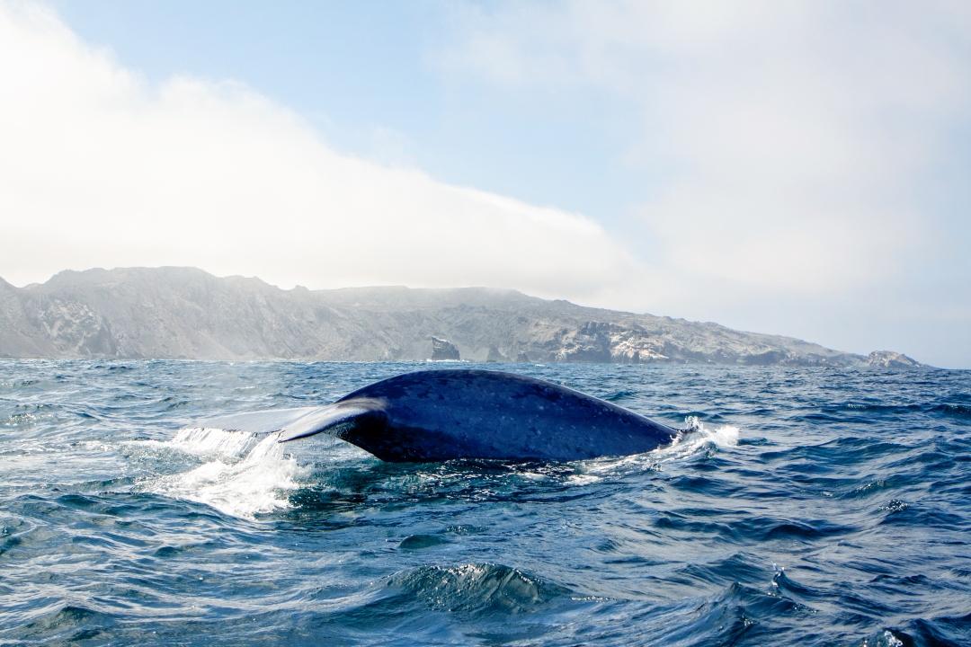 ballena-azul