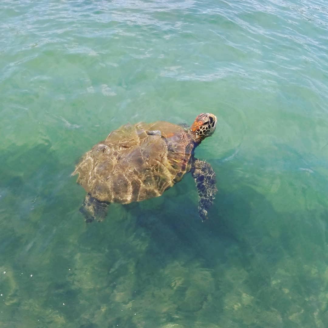 Tortuga verde nadando en el mar de Rapa Nui