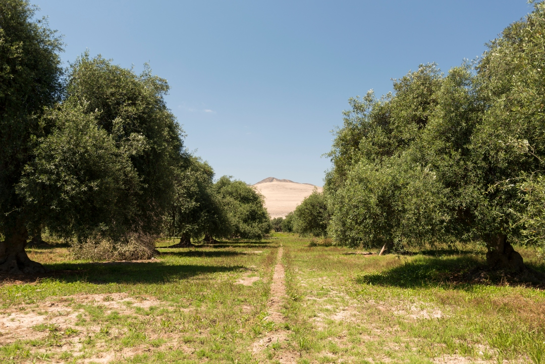 Path with leafy olive trees on the sides