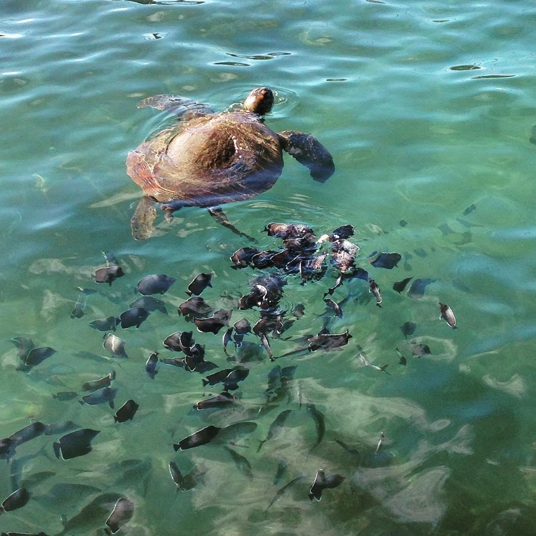 Tortuga verde nadando junto a peces, Rapa Nui