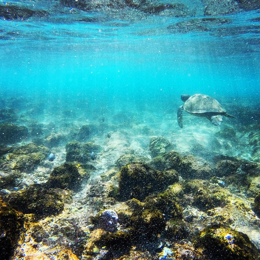 Tortuga nadando en playa de Rapa Nui