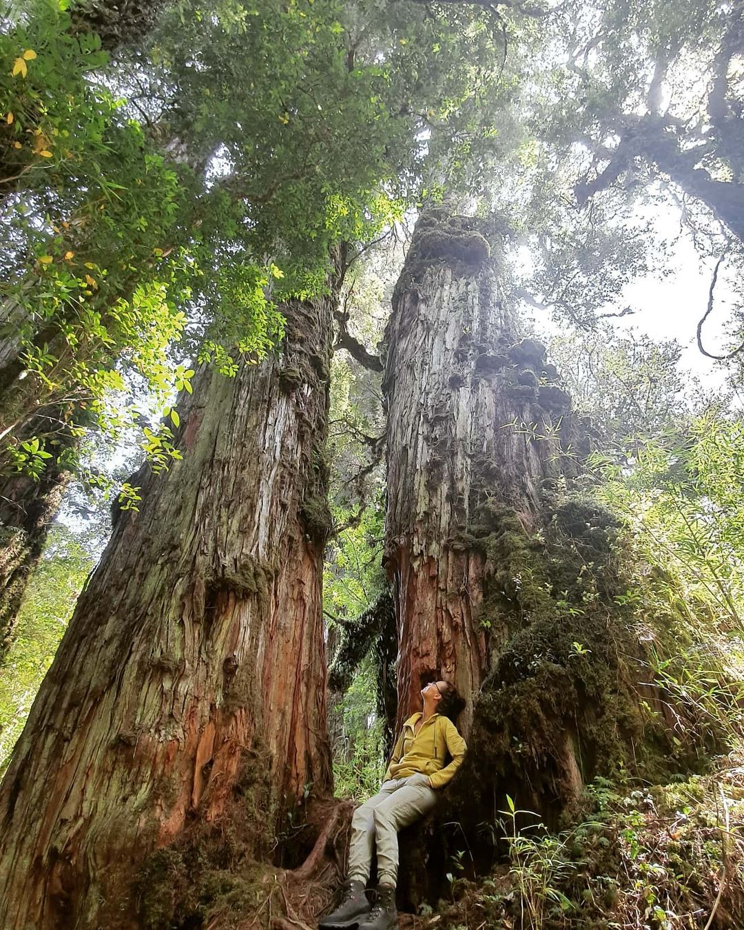 Woman between two large Alerce trees in the Alerce Andino National Park