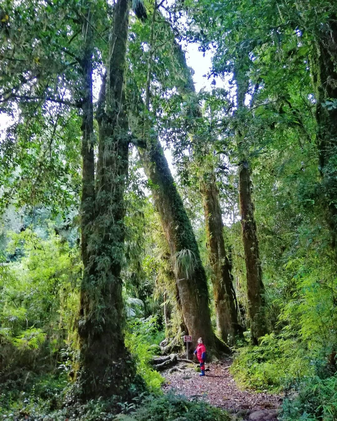 Bosco di Cipressi della Patagonia, Parco Nazionale Alerce Andino