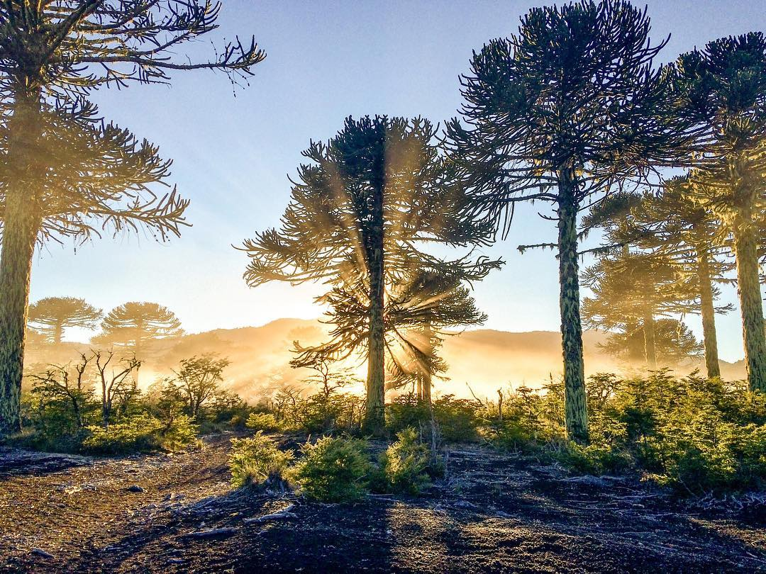 Sunlight behind a forest of Araucarias