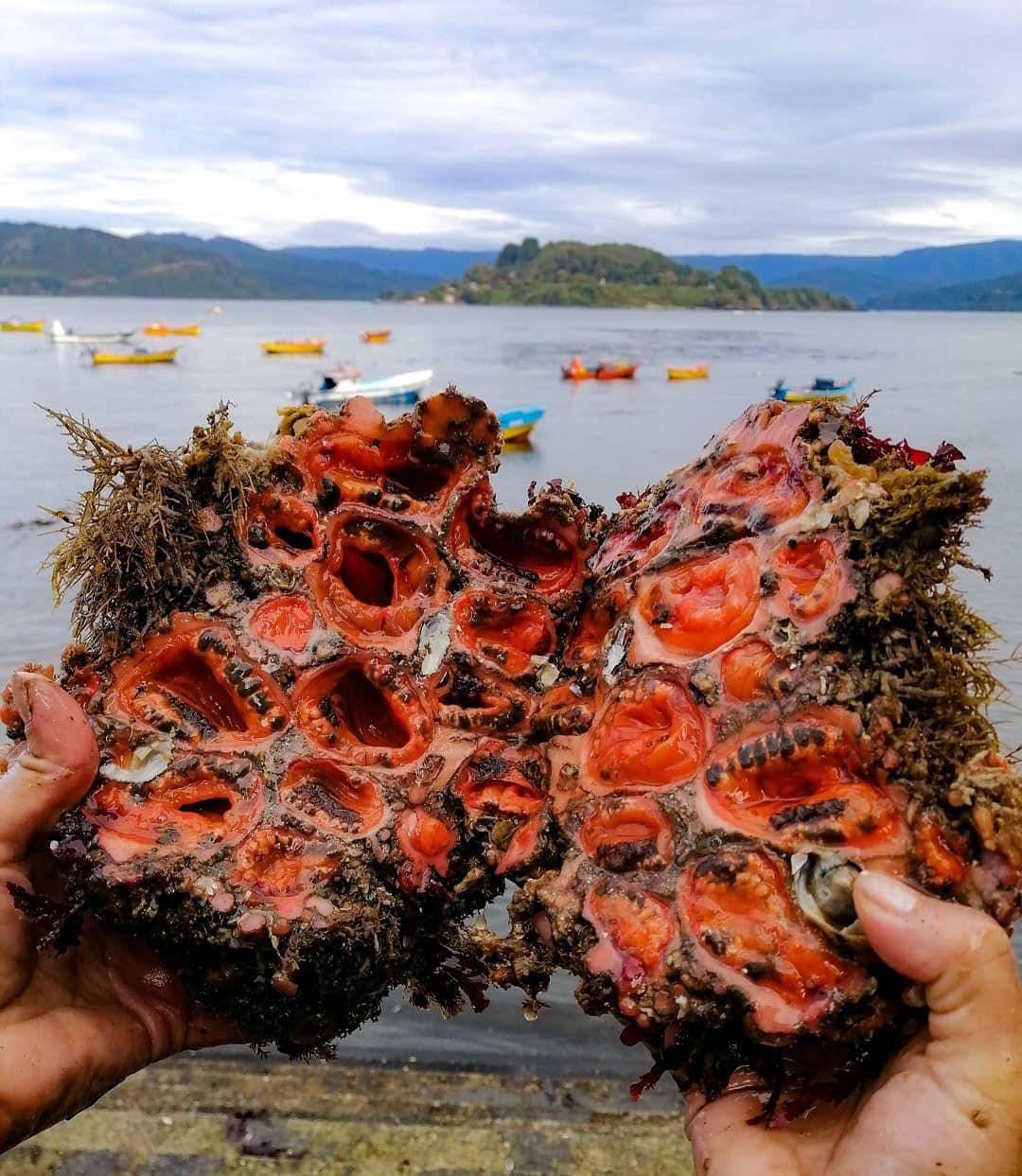 Piures off the coast of Chile