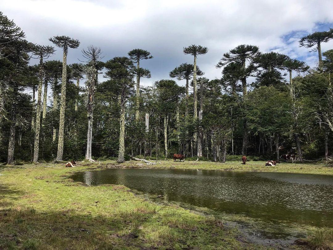 Araucarias (Araucaria Araucana), arbres endémiques, dans le Parc National Huerquehue