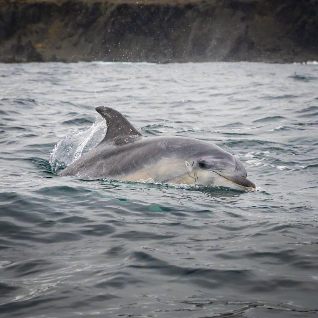 Delfín nariz de botella sobresaliendo del agua