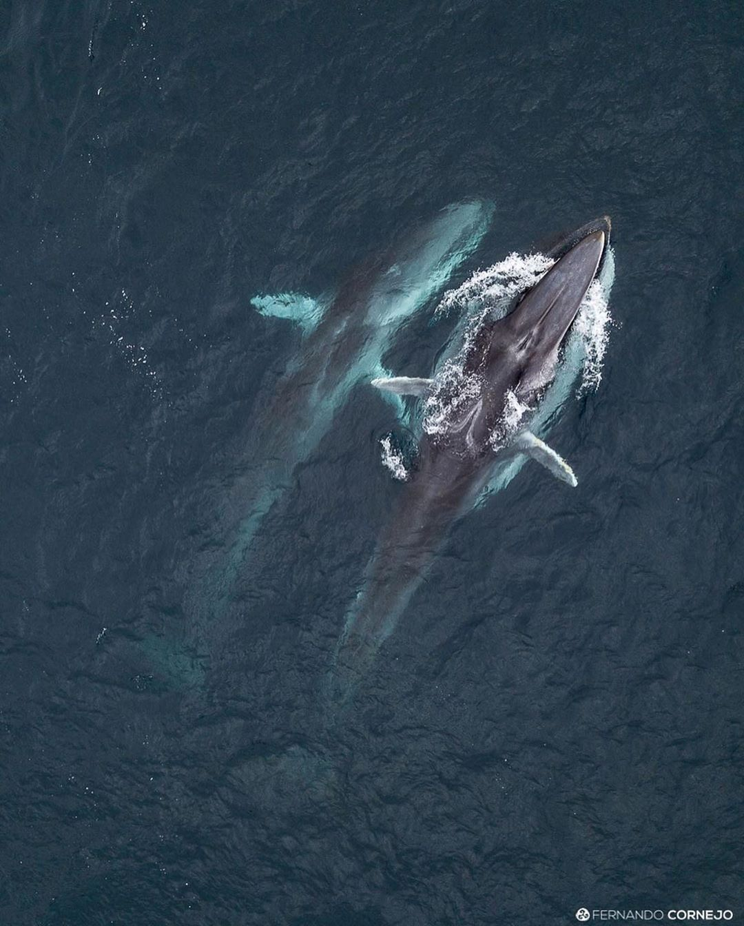 Two fin whales seen from above
