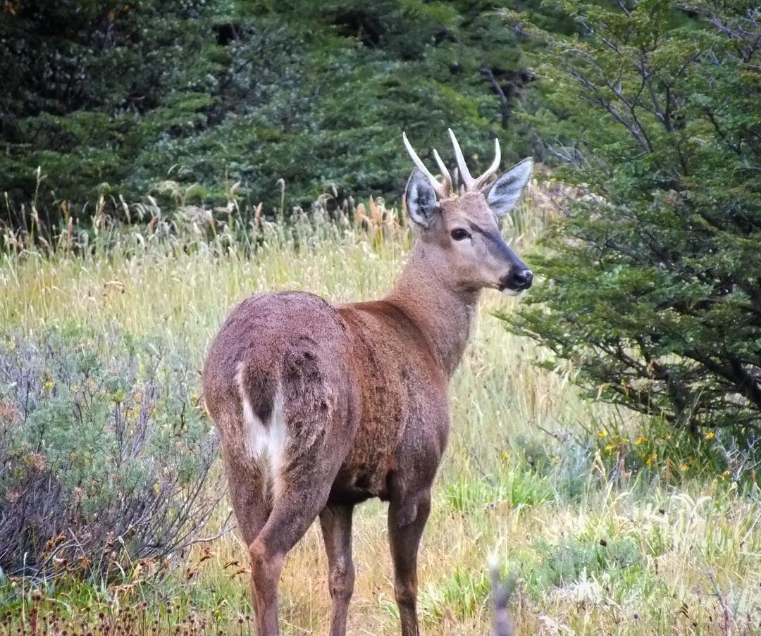 Huemul or Andean deer, an animal that is currently in danger of extinction