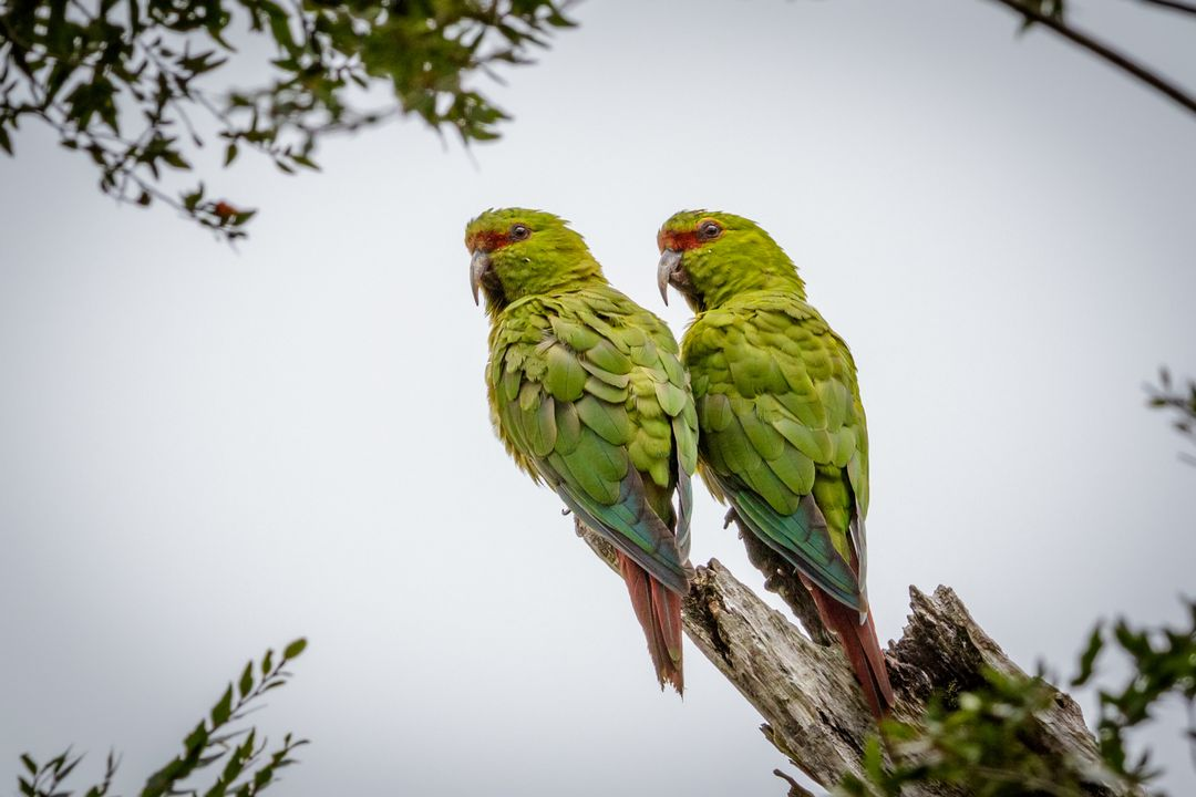 Couple de choroy, espèce protégée, dans le Parc National Huerquehue