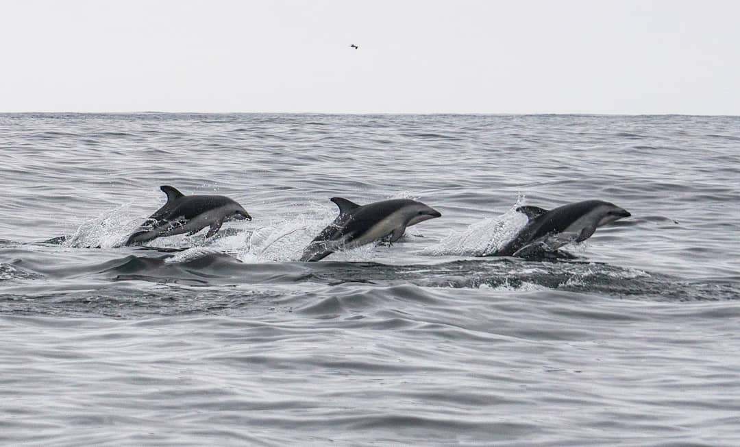 Three dark dolphins jumping simultaneously in Chañaral de Aceituno