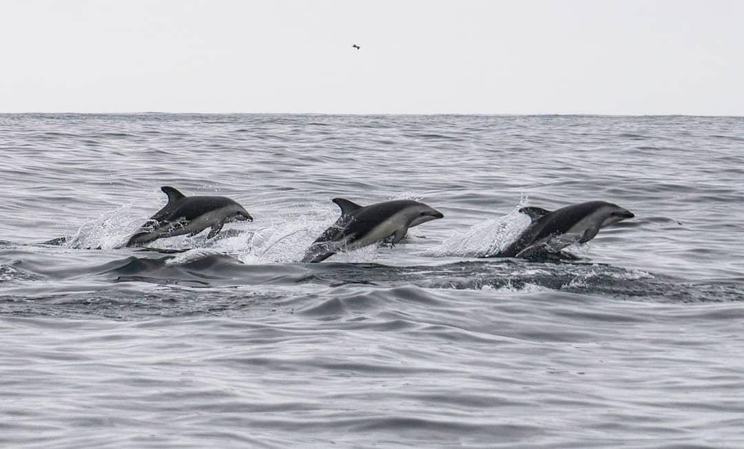 Tres delfines oscuros saltando en Chañaral de Aceituno