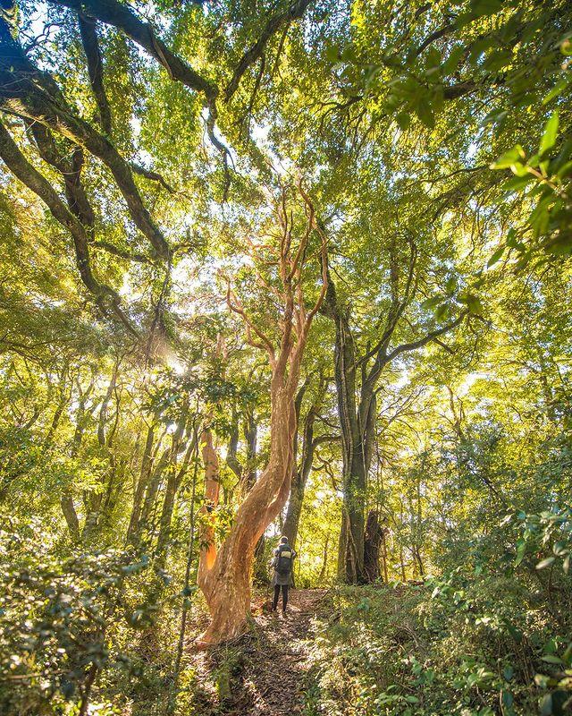 Bosque milenario en Isla Mocha
