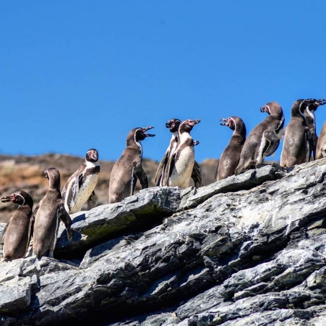 Grupo de pingüinos de Humboldt