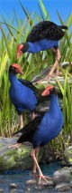 Wet Feet Pukeko 3D Bookmark