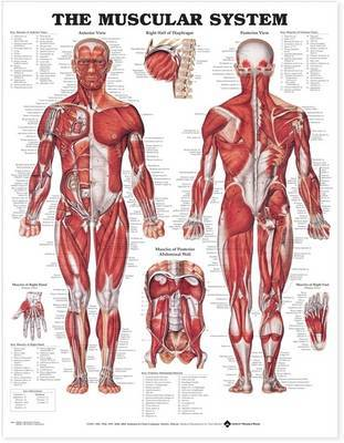 The Muscular System - Flex